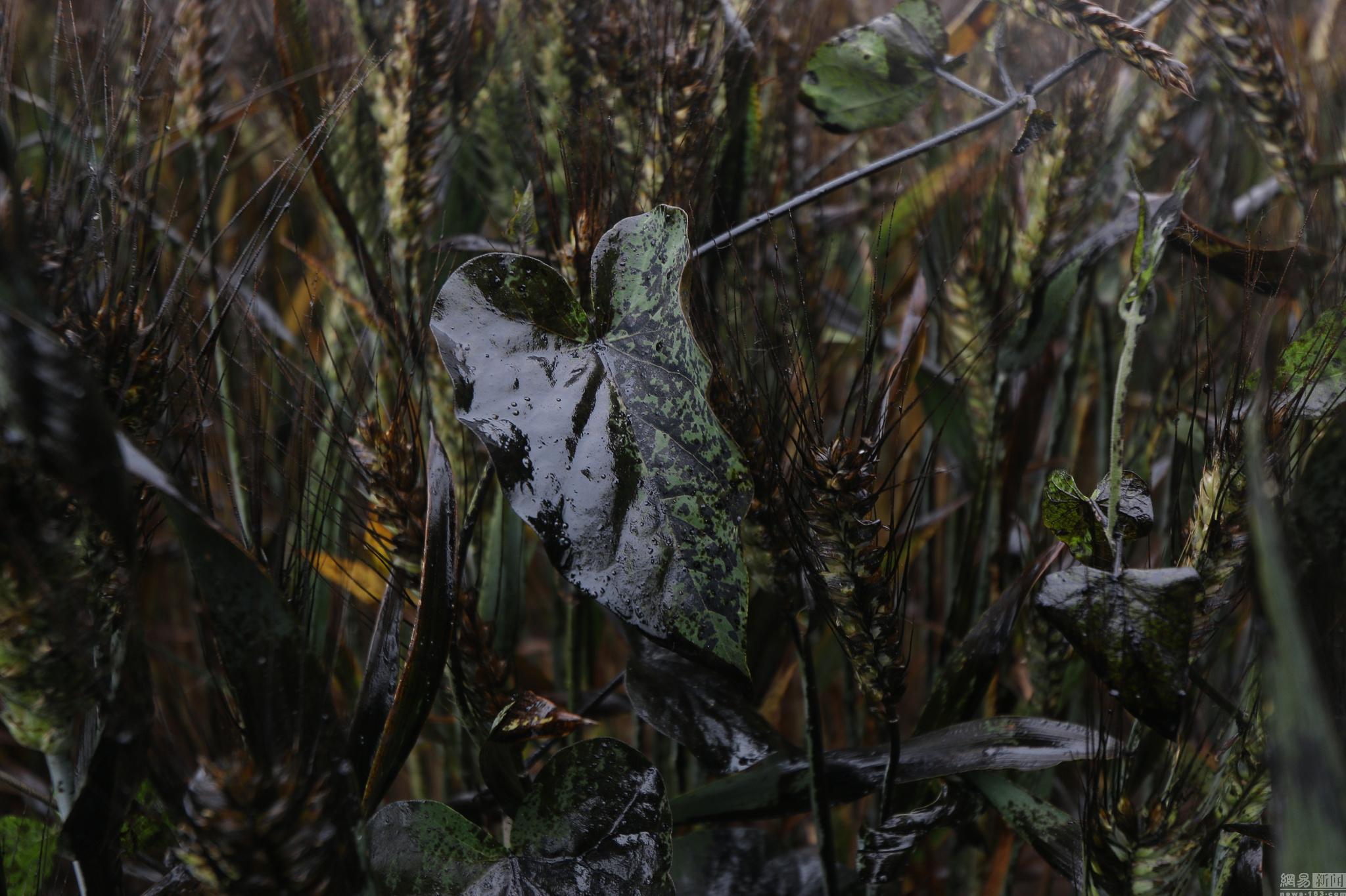 山东滨州石油管道破裂大片麦田受损
