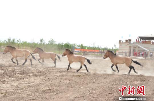 奔跑的普氏野马。 孙亭文 摄